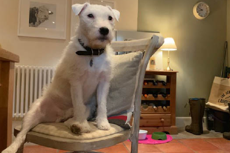really real resources Dave the terrier sitting on a chair
